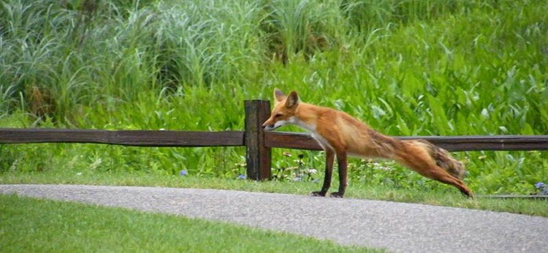 Red fox at Keller Golf Course