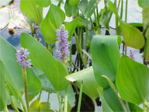 Pickerel plant